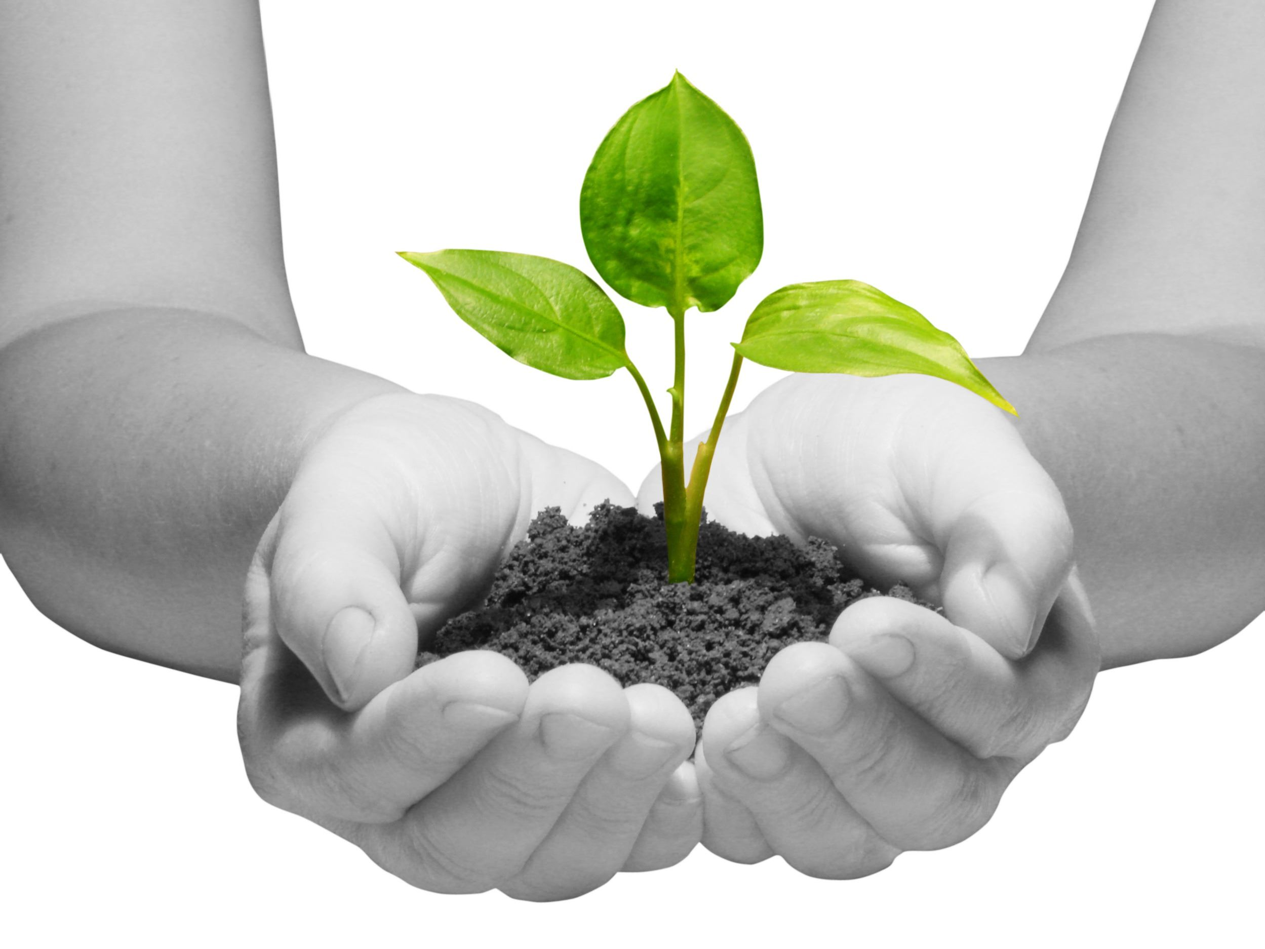 Hands holding sapling in soil  on white